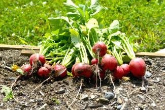 Bunches of Radishes in a garden bed
